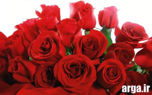 عکس گل رز قرمز زیبا