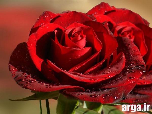 گل رز قرمز دوست داشتنی