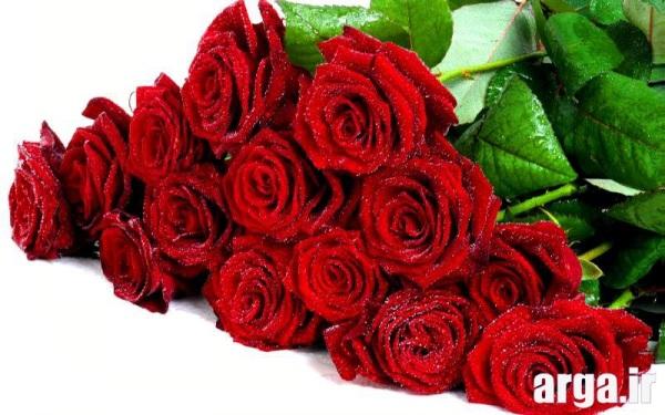 عکس رز زیبای قرمز شاداب