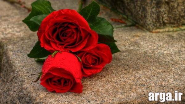عکس رز زیبای قرمز زیبا