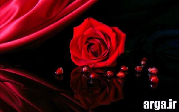 عکس رز زیبای قرمز ناز