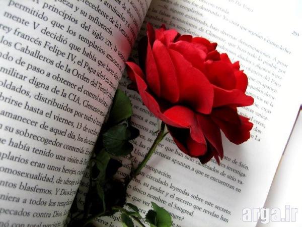 عکس رز زیبای قرمز دوست داشتنی