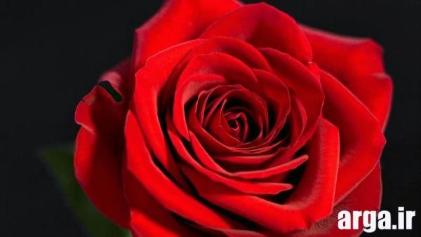 گل رز ناز
