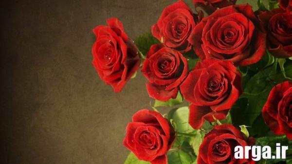 گل رز باطراوت