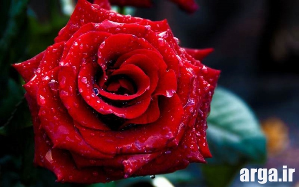 عکس گل رز قرمز ناز
