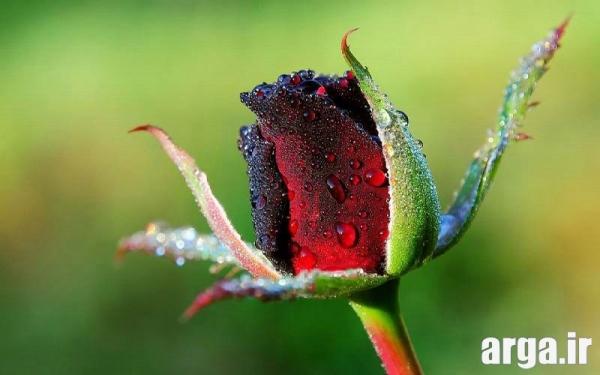 عکس گل رز قرمز غنچه