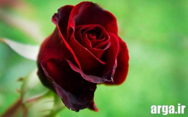عکس گل رز قرمز دوست داشتنی