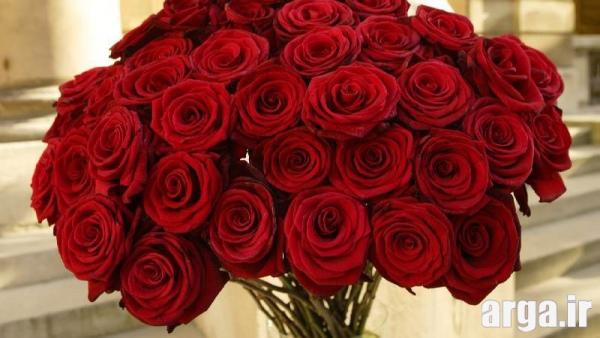 گل رز قرمز ناز