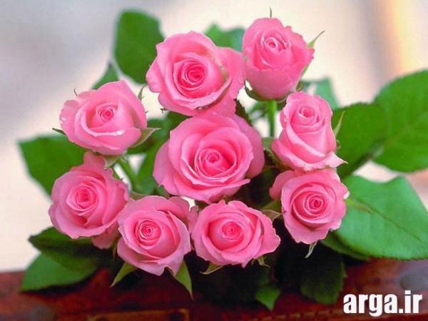 اولین عکس گل رز