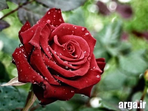 دومین عکس گل رز