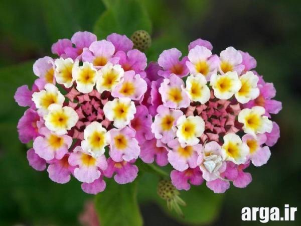 اولین عکس گل شاهپسند