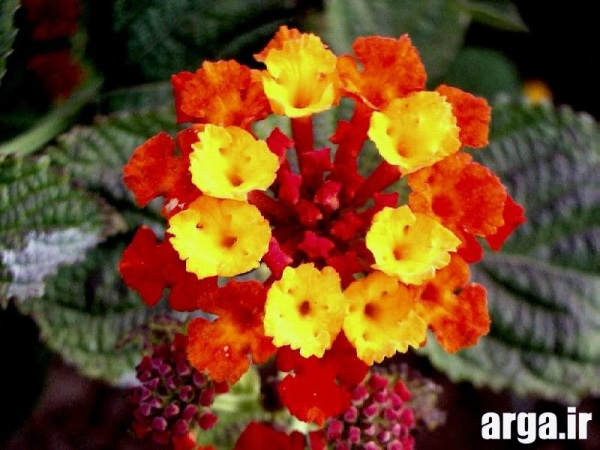 دومین عکس گل شاهپسند