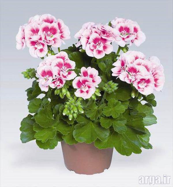 اولین عکس گل شمعدونی