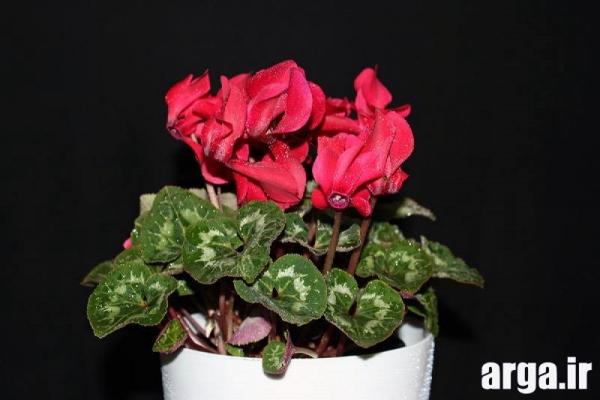 اولین عکس گل سیکلامن