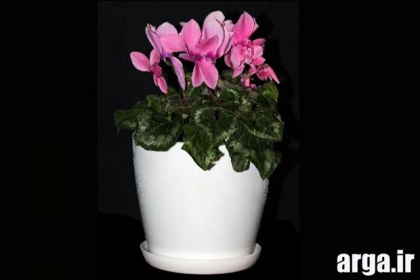 دومین عکس گل سیکلامن