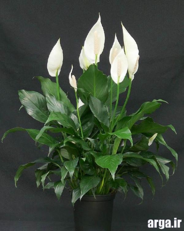 اولین عکس گل اسپاتی فلیوم