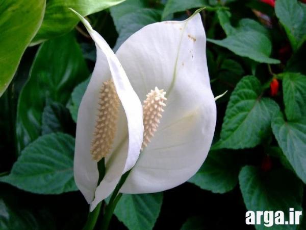 دومین عکس گل اسپاتی فلیوم