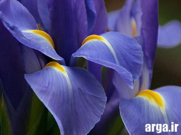 عکس گل زنبق زیبا