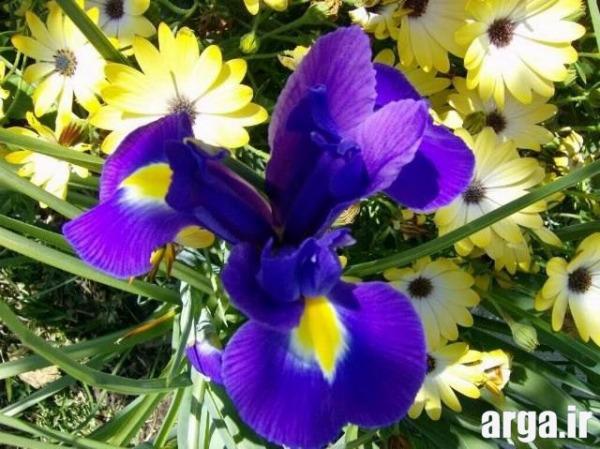 انواع زیبای گل زنبق