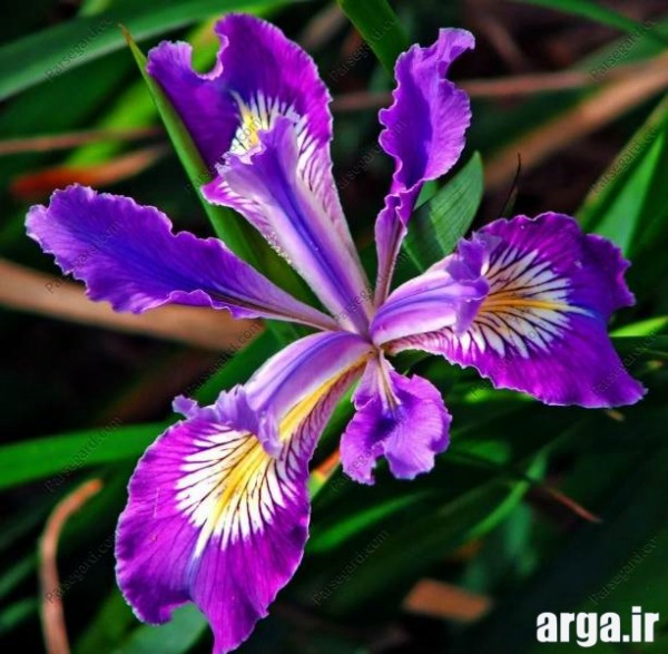 انواع ناز گل زنبق