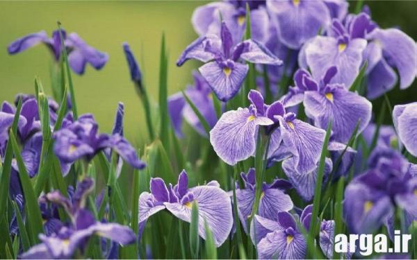 انواع طبیعی گل زنبق