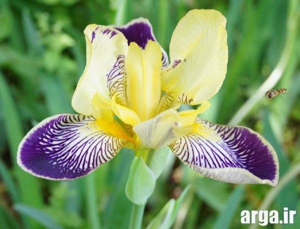 انواع دوست داشتنی گل زنبق