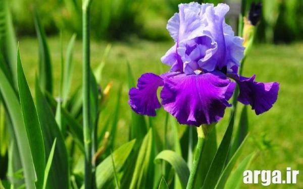 مدل هایی از گلهای زنبق زیبا