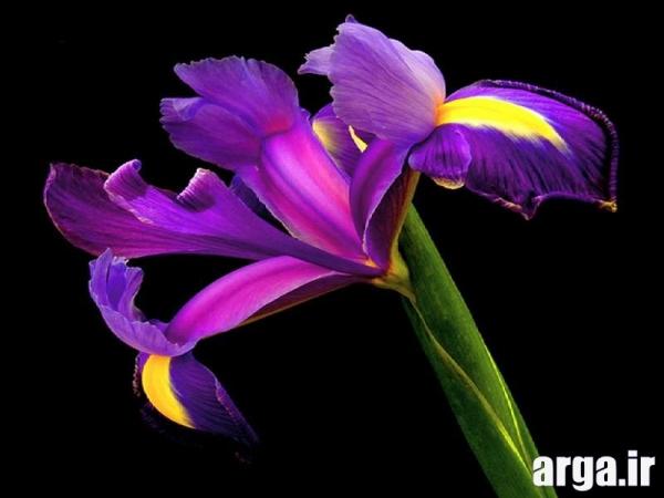 مدل هایی از گلهای زنبق ناز