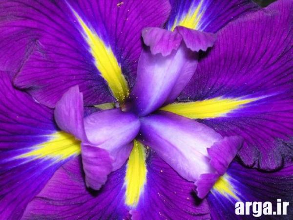 مدل هایی از گلهای زنبق طبیعی
