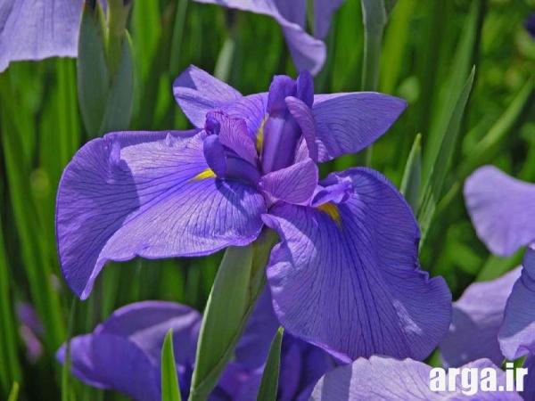 عکس گل زنبق ناز