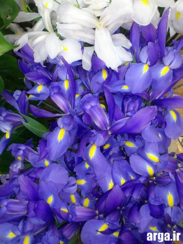 عکس گل زنبق طبیعی