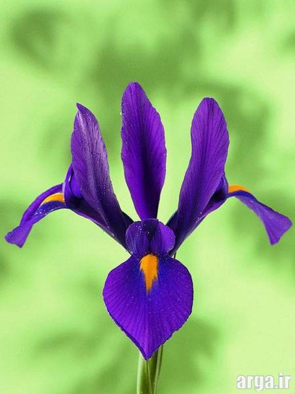 عکس گل زنبق جذاب