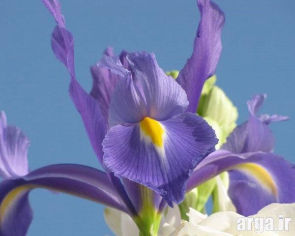 عکس گل زنبق دوست داشتنی