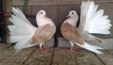 تصاویر کبوتران زیبا