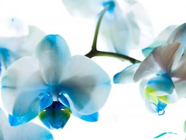 گل ارکیده آبی
