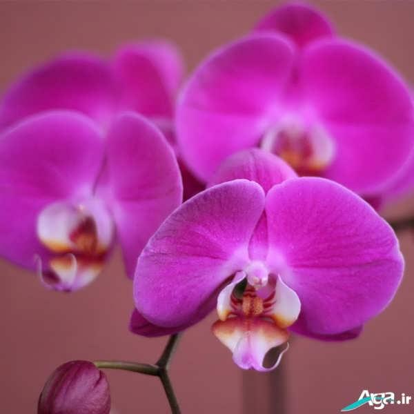 گل های ارکیده صورتی