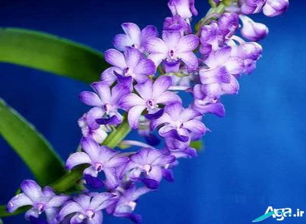 عکس گل های ارکیده زیبا