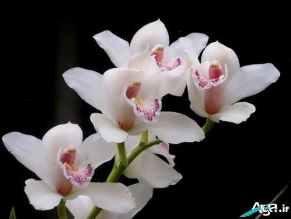 گل های ارکیده سفید