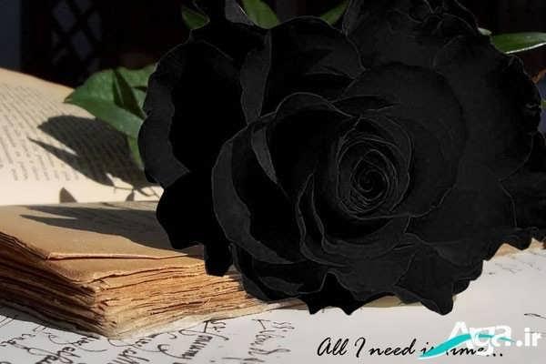 مدل گل رز سیاه