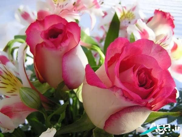 مدل گل دو رنگ