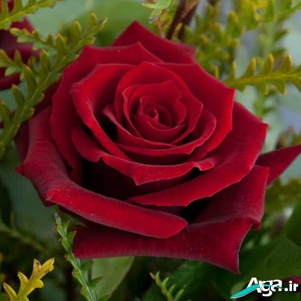 گل رز قرمز زیبا