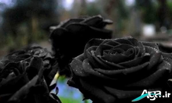 گل رز سیاه