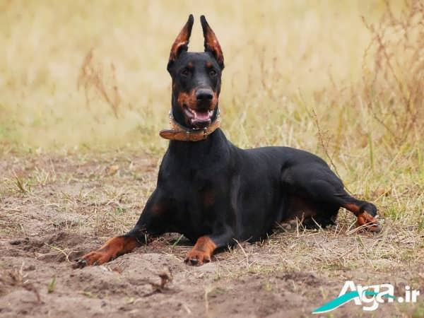 نژاد سگ دوبرمن و سلامتی