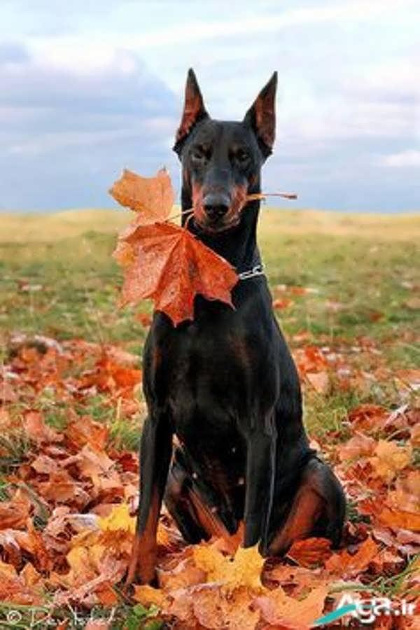 سگ دوبرمن و پاییز
