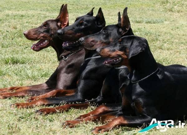 عکسی زیبا از چند سگ دوبرمن