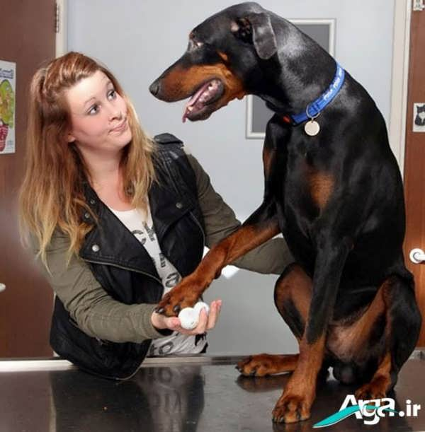 سگ دوبرمن