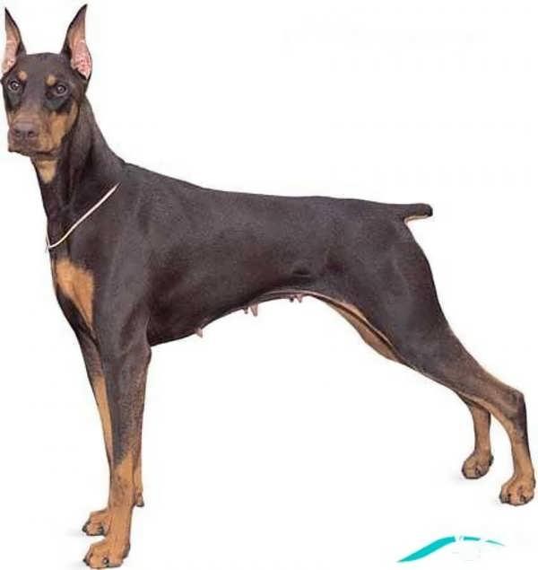عکس زیبا سگ دوبرمن