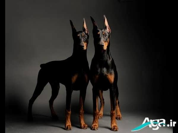 عکس سگ های دوبرمن