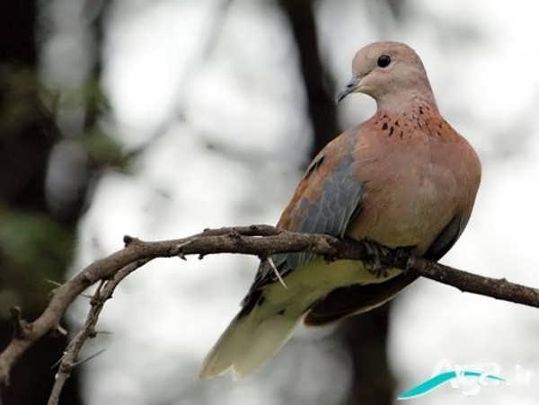 عکس کبوتر
