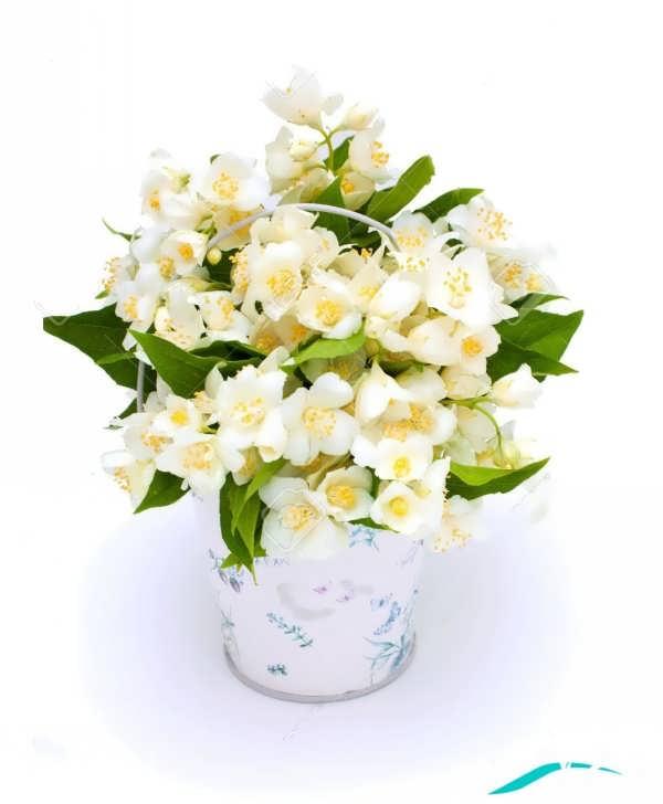 گل یاس زیبا